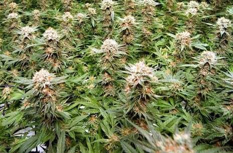 Ruim 400 planten bij hennepkwekerij in huis