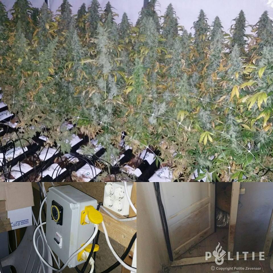 Wietkwekerij met 160 planten in kelder
