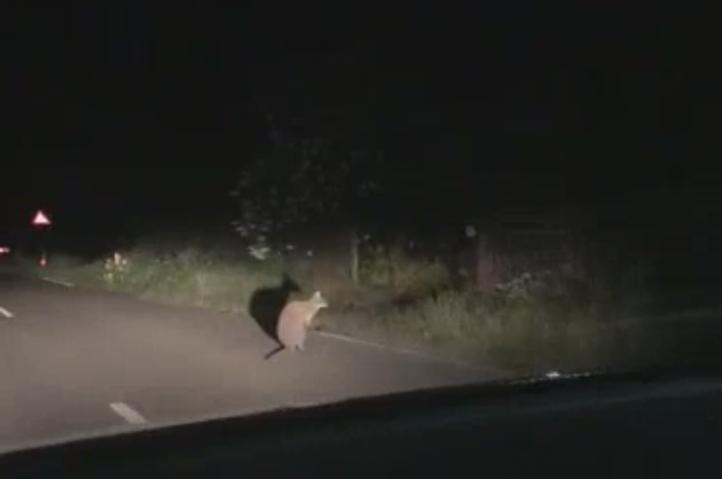 kangoeroe gespot in Lobith
